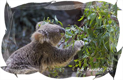 Koala at L.A. Zoo