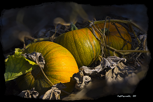 pumpkin, pumpkin patch, Presentation Center, Los Gatos
