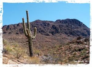 "saguaro, ""arizona desert"""