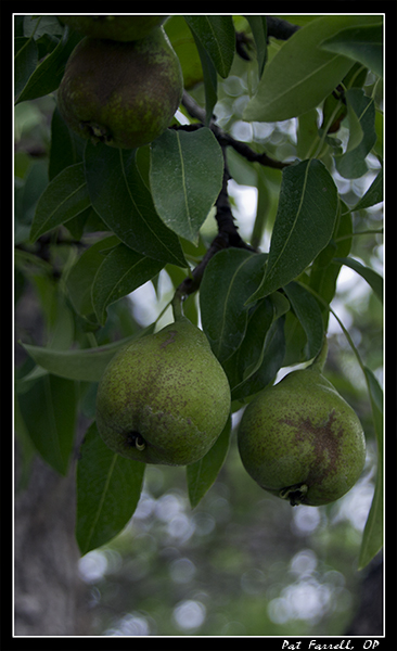 Young pears