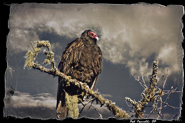 bolinas_turkey_vulture