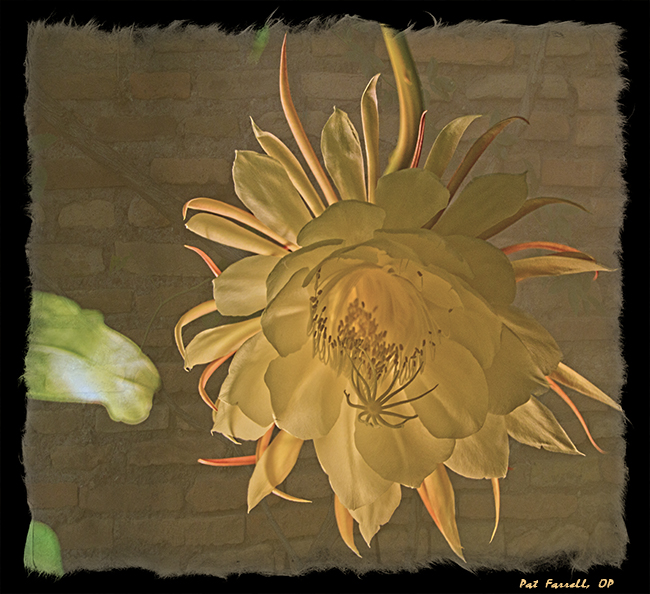 dragon_fruit_flower_4