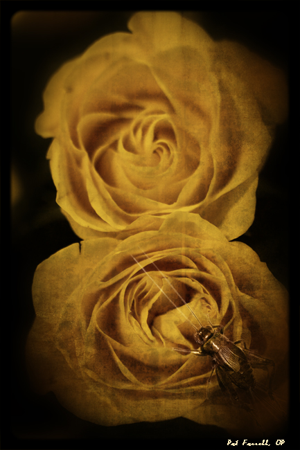 roses_cricket