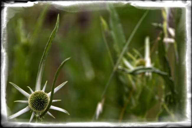 A simple thistle, yet it is a wonder of beauty