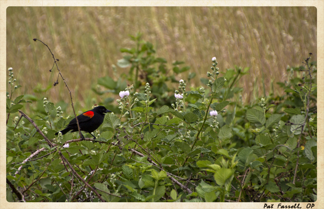 Is the sight or the sound of the red winged bird just background?