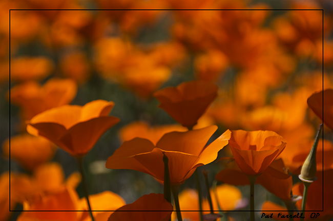 What can bring more joy than a patch of golden poppies?