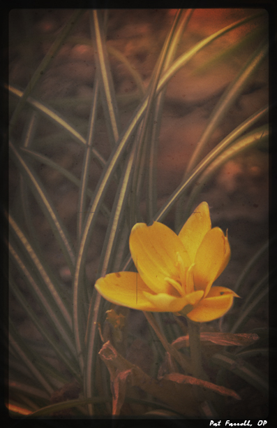 Crocus - the first hope of spring