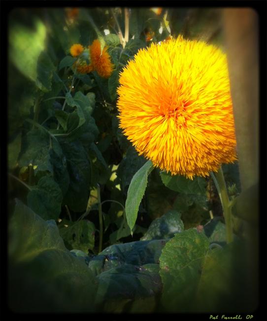 sunflowers_larkspur_001