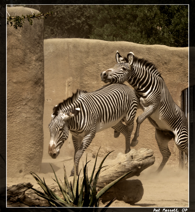 Unfortunately these zebra are not free. I have mixed feelings about zoos. What about you?