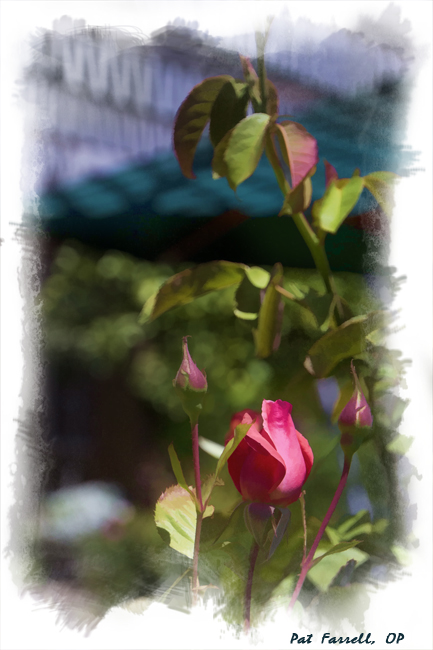 The beauty of the rose and the sharpness of its thorn cannot be separated