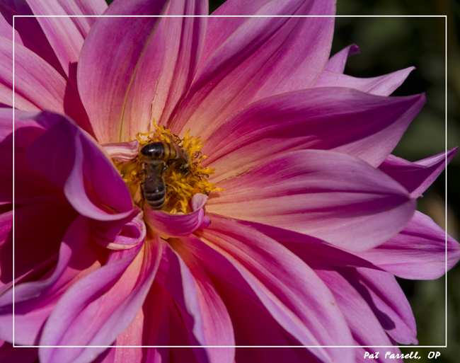 The dahlia: an outburst of glorious compassion