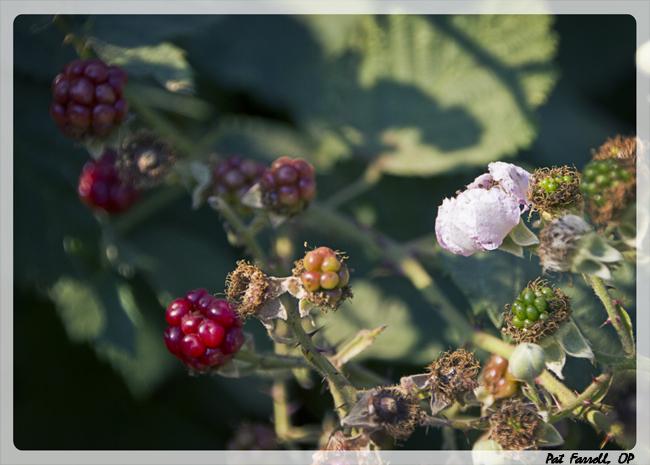 Flowers and unripe berries foreshadow the luscious blackberries