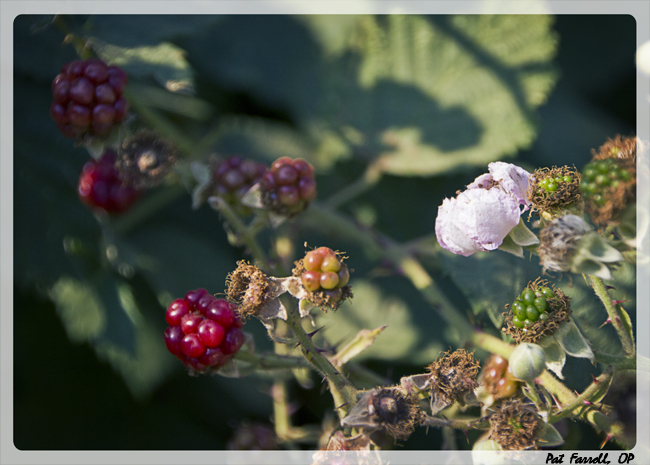 Flowers and unripe berries foreshadow the luscious blackberries