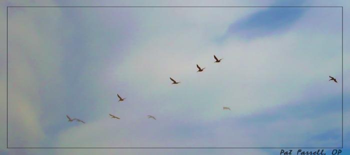 DelMar_pelicans
