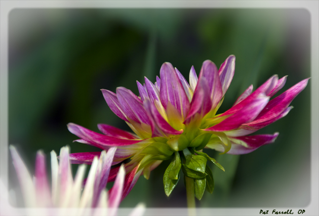 And the sun shining on these dahlias in a neighbors front yard can always make me smile!