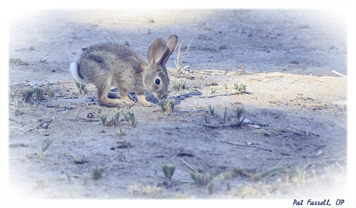 It is easy to see why the fur of the rabbit matches color and hue of the surroundings, for until he moves, it is difficult to spot him.