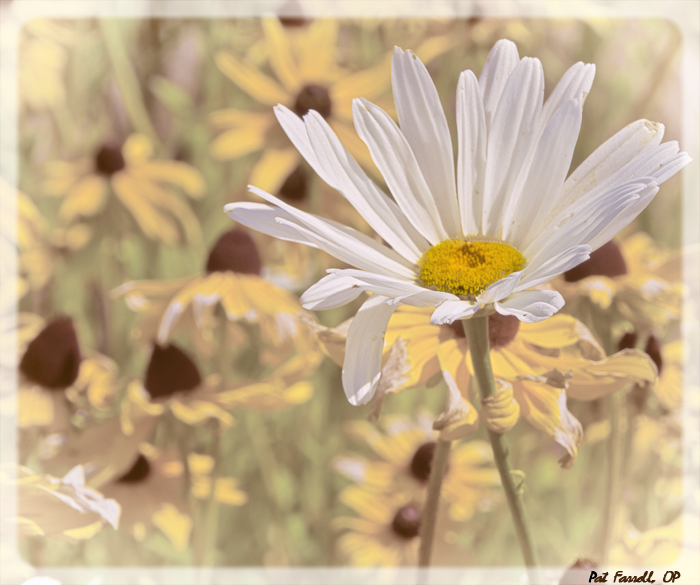 The simplicity of the daisy