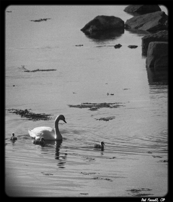 Free as the swan