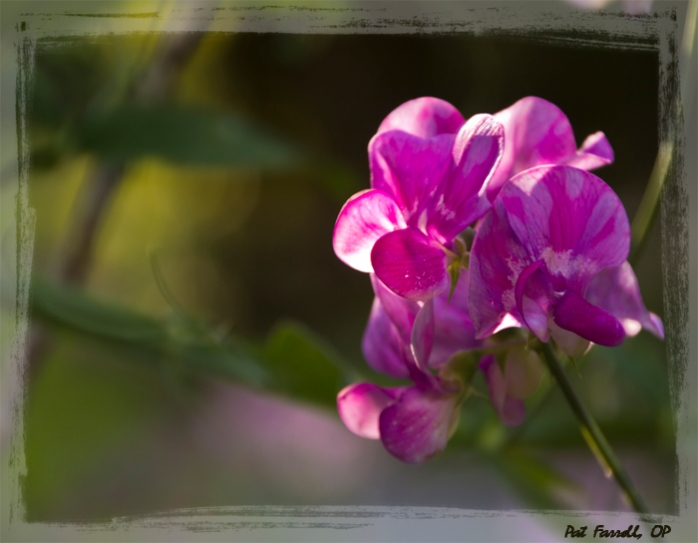 The wild sweet pea is certainly one of the good things of life