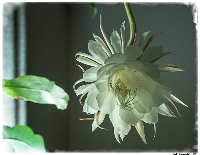 "This ""pure white blossom burning in glimmer"" is the night blooming cereus. It blooms once a year. what a beautiful site!"