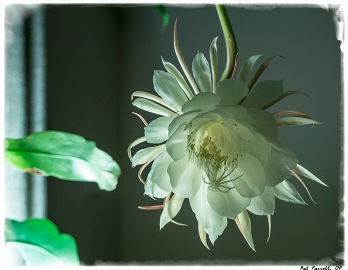 """This """"pure white blossom burning in glimmer"""" is the night blooming cereus. It blooms once a year. what a beautiful site!"""