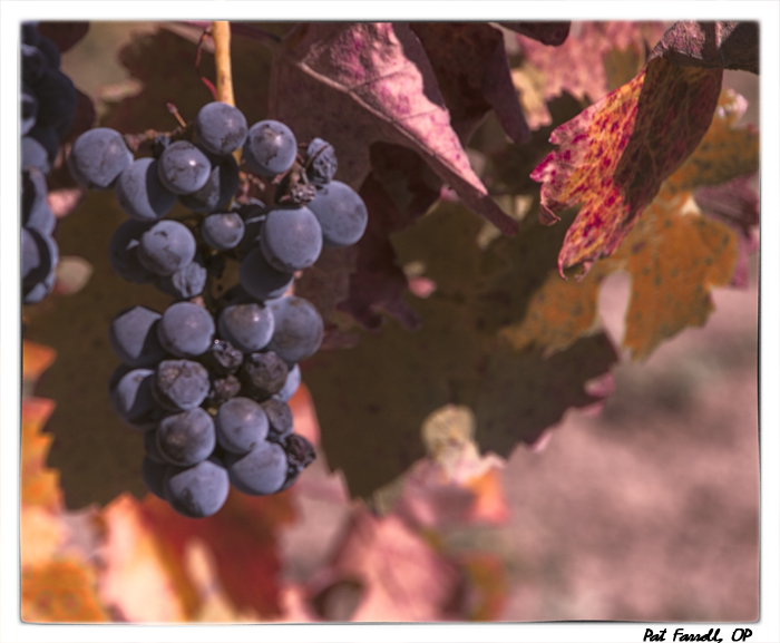 Ripening grapes in Sonoma, California