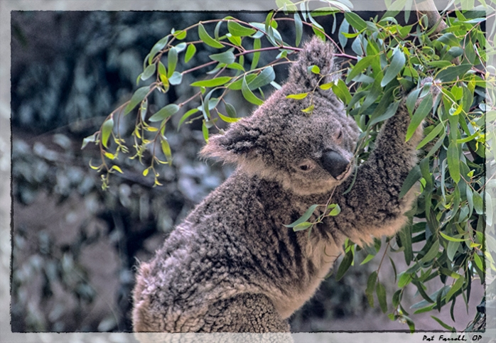 Love every creature . . .  Of course koalas are pretty easy to love. What about some of the others?