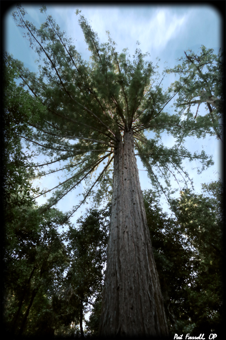 The coastal redwoods have been growing in silence for over 2,000 years
