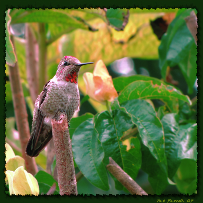 The hummingbird, like the swallow, trusts in providence.