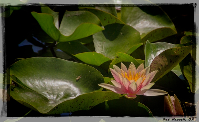 The lotus doesn't lose hope