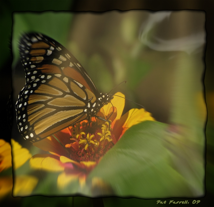 The Monarch Butterfly - ultimate symbol of Resurrection
