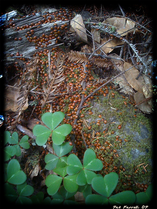 Clustered, creeping lady bugs