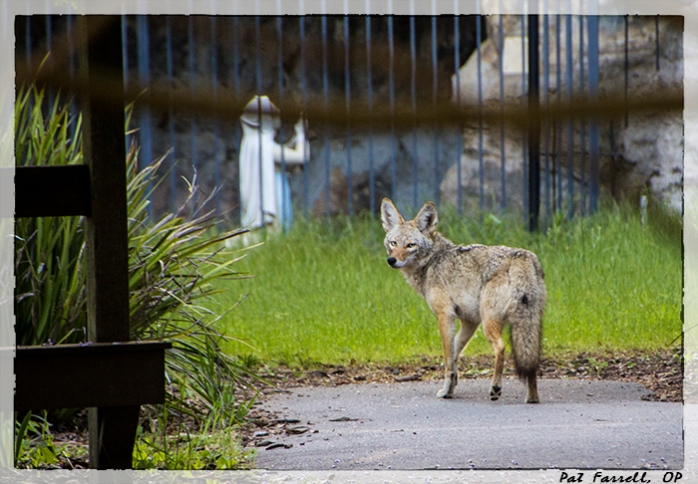 Can I see God in the coyote even when I know it has eaten one of this year's fawns?