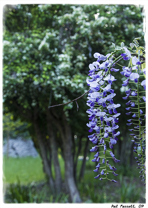 Wisteria - simply extraordinary