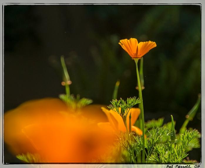 Poppies always help create a sense of gratitude within me