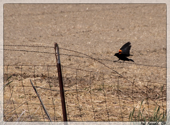 The uncommon beauty of the common red-winged blackbird