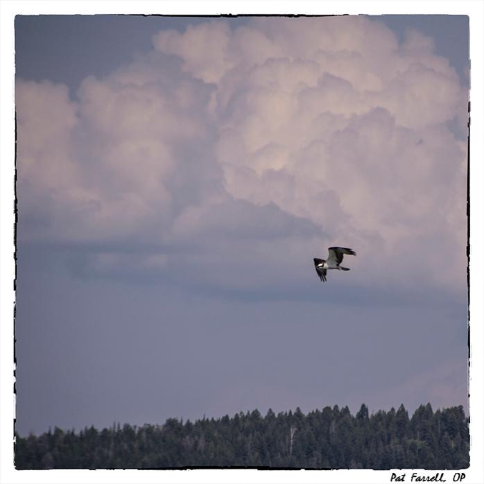 Soaring osprey