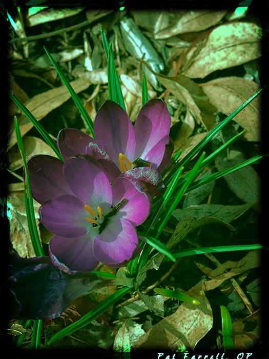 It is no longer the time of the crocus, but we remember its welcome appearance.