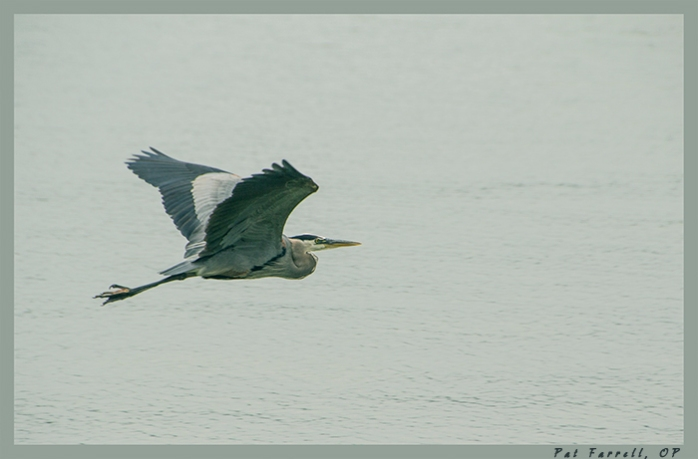 Always a surprise to catch a blue heron in flight