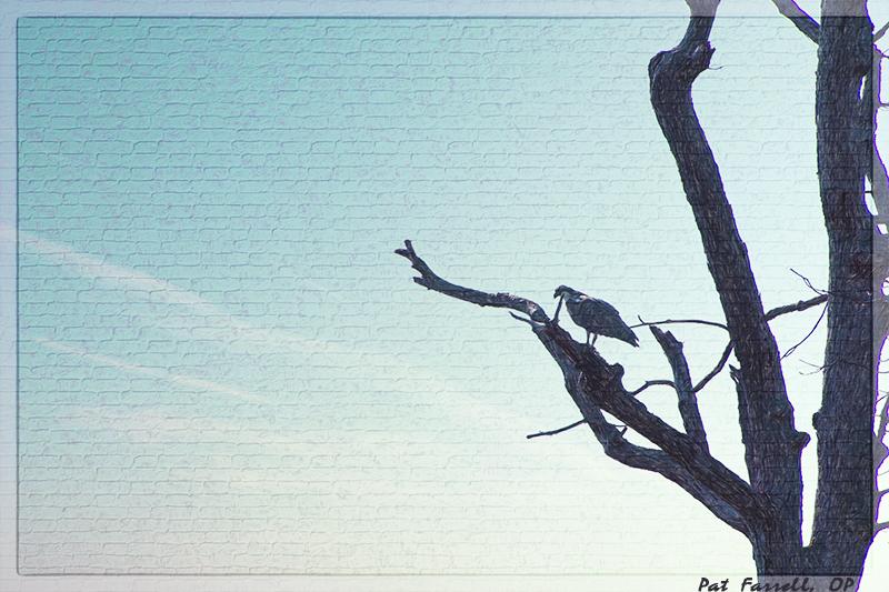 Grand osprey