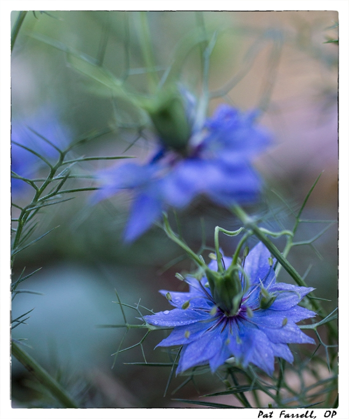 Would you ever expect a flower like this? It is Love in a Mist